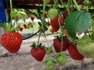 Overzicht pluktuinen, zoals deze aardbeienplukkerij