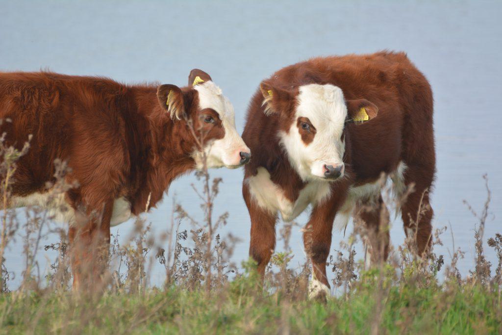 Blaarkoppen, foto-inspiratie van veehouderijen.