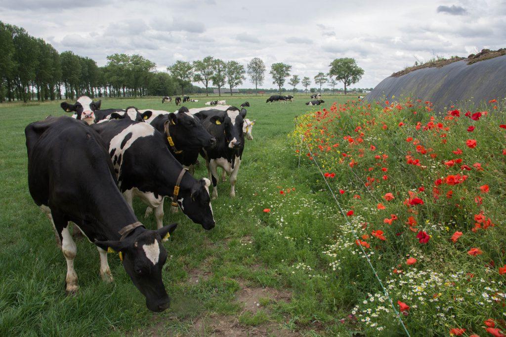 Foto-inspiratie koeien bij de boerderij.