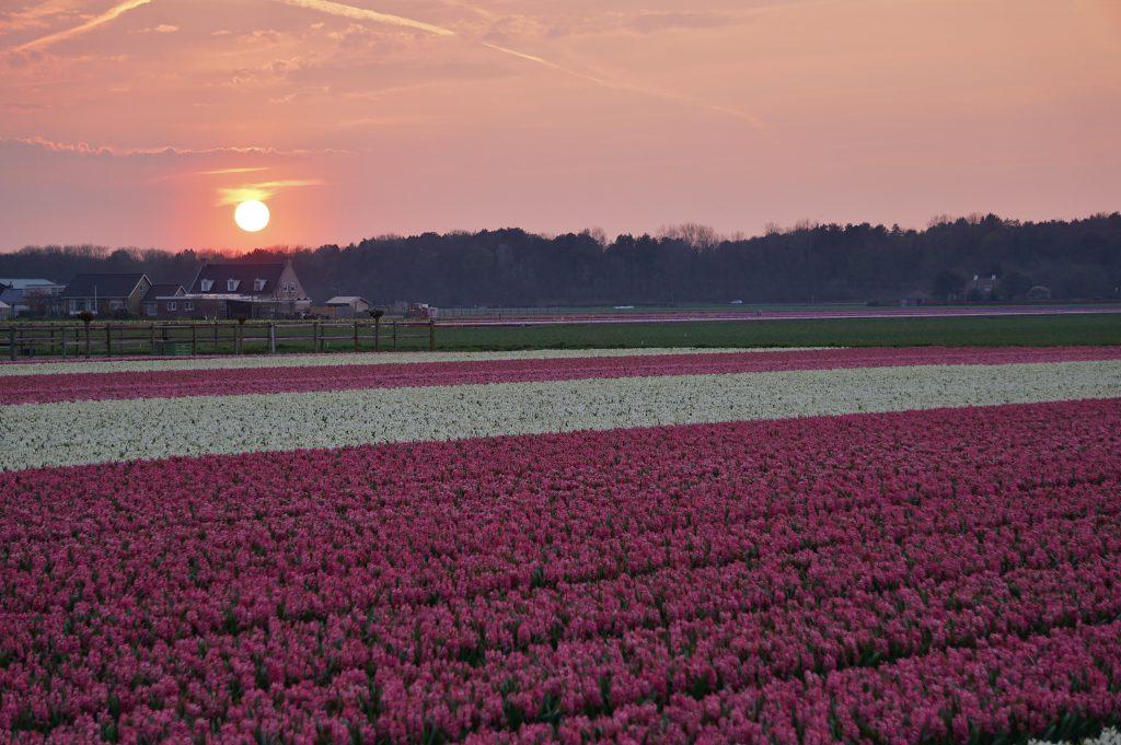 Prachtige foto van een bloembollenveld met hyacinten in Noordwijk