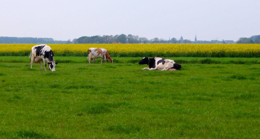 Foto-inspiratie koeien in de wei