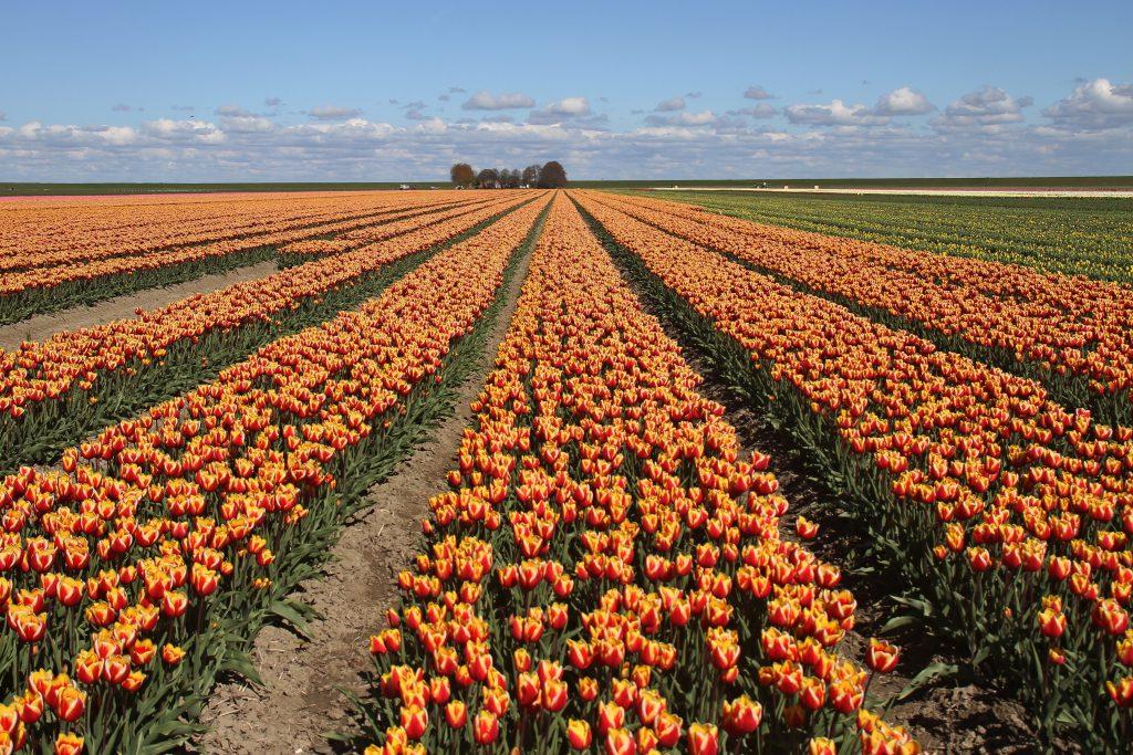 Foto-inspiratie bloembollenveld, tulpen